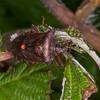 Red-legged Shieldbug, Pentatoma rufipes 2899