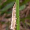 Common Grass-veneer, Agriphila tristella 2936
