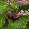Red-legged Shieldbug, Pentatoma rufipes 2898