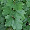 Guelder Rose, Viburnum Opulus 2809