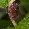 Red-legged Shieldbug, Pentatoma rufipes 2903