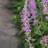 Purple Loosestrife, Lythrum salicaria 2896