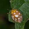 Orange Ladybird, Halyzia sedecimguttata 2839