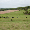Cattle by Cissbury Ring 9873