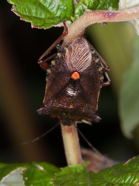 Red-legged Shieldbug, Pentatoma rufipes 2906