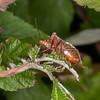 Red-legged Shieldbug, Pentatoma rufipes 2901