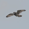 Short-eared Owl, Asio flammeus 2112