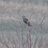 Short-eared Owl, Asio flammeus 2140