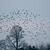Starling murmuration, Sturnus vulgaris 2351