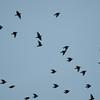 Starling murmuration, Sturnus vulgaris 2336