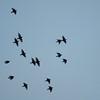 Starling murmuration, Sturnus vulgaris 2335