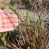 Sea Spurge, Euphorbia paralias 8779