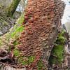Bracket fungus noid 8764
