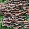 Bracket fungus noid 2069