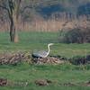 Grey Heron, Ardea cinerea 2196