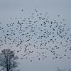 Starling murmuration, Sturnus vulgaris 2346
