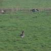 Greylag Goose, Anser anser 2210