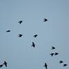 Starling murmuration, Sturnus vulgaris 2337