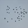 Starling murmuration, Sturnus vulgaris 2338