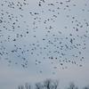 Starling murmuration, Sturnus vulgaris 2353