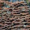 Bracket fungus noid 2068