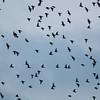 Starling murmuration, Sturnus vulgaris 2354