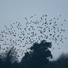 Starling murmuration, Sturnus vulgaris 2349