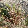 Sea Spurge, Euphorbia paralias 8778