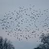 Starling murmuration, Sturnus vulgaris 2352