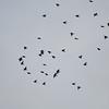 Starling murmuration, Sturnus vulgaris 2331
