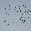 Starling murmuration, Sturnus vulgaris 2339