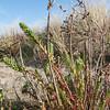Sea Spurge, Euphorbia paralias 8780