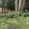 Primroses, Primula vulgaris and Daffodils, Narcissus pseudonarcissus 9102