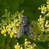 Greenbottle, Lucilia species 4924