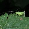 Speckled Bush Cricket nymph, Leptophyes punctatissima 7786