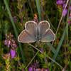 Silver-studded Blue, female, Plebeius argus 7773