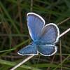 Silver-studded Blue, Plebeius argus 7781