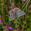 Silver-studded Blue, female, Plebeius argus 7772