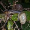 Kentish Snail, Monacha cantiana 8443