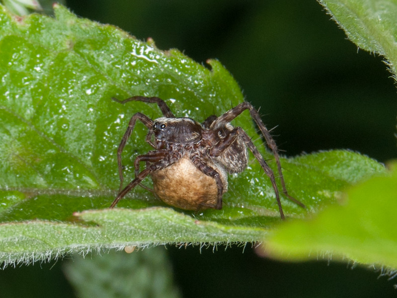 female Wolf spider with cocoon 8469