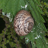 Kentish Snail, Monacha cantiana 8493
