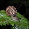 Kentish Snail, Monacha cantiana 8444