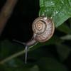 Kentish Snail, Monacha cantiana 8448