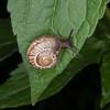 Kentish Snail, Monacha cantiana 8472