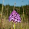 Pyramidal Orchid, Anacamptis pyramidalis 8441
