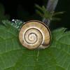 White-lipped Snail, Cepaea hortensis 8482