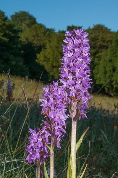 Southern Marsh Orchid, Dactylorhiza praetamissa 8414