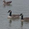 Canada Geese, Branta canadensis 3398