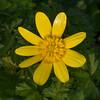 Lesser Celandine, Ranunculus ficaria 0772