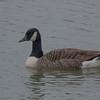 Canada Goose, Branta canadensis 3400